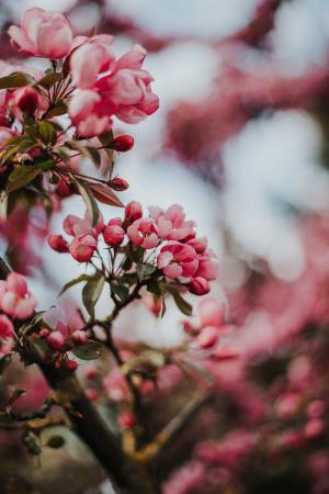 漂亮的垂丝海棠