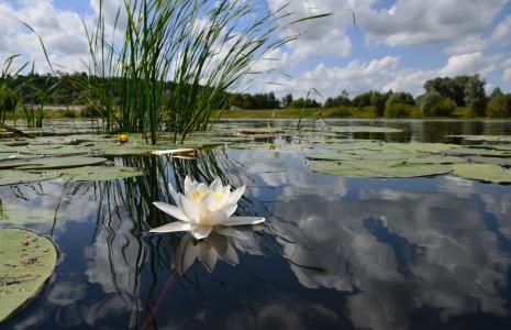 池塘,百合