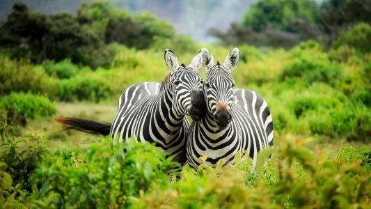 肯尼亚,自然,植被,果岭,动物,斑马,蒸汽