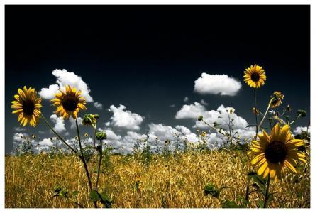 天空,向日葵