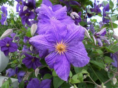 六月,夏天,花,铁线莲