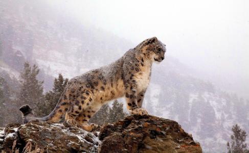 看起来,暴雪,站立,雪豹,岩石,雪豹,山