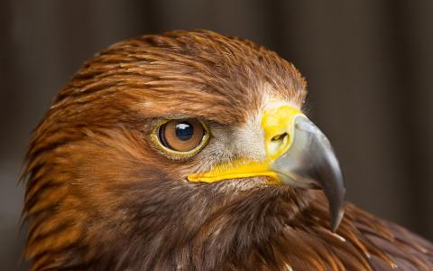 宏,鸟,猎鹰