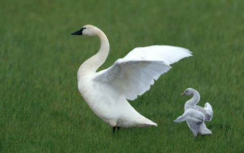 天鹅,天鹅,草,翅膀