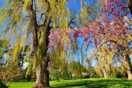 公园,花园,树木,柳树,盛开,春天,长凳