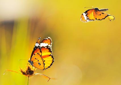 飞,黄色,背景,蝴蝶