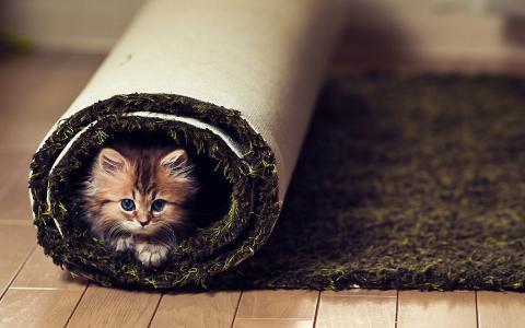 看,地毯,地板,小猫