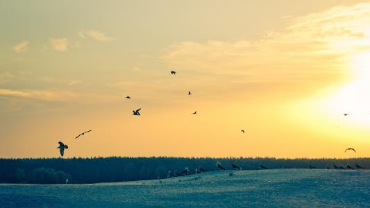 海鸥,早晨,黎明,天空,海鸥