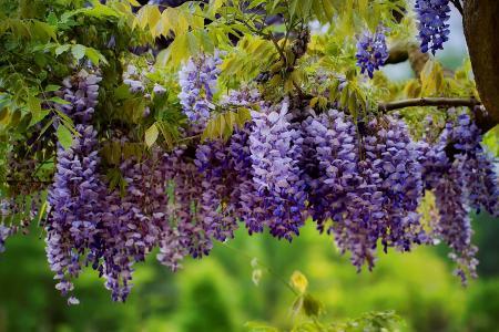 树,枝,叶,花,花序,紫藤,紫藤