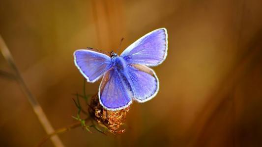 蝴蝶,蓝色