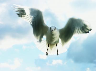 天空,海鸥,飞行