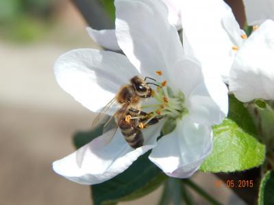 自然,蜜蜂