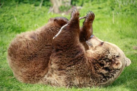 爪子,绿色,棕色,背景,草,棒,熊