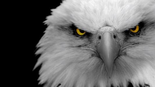 鸟,看,捕食者,羽毛,美女