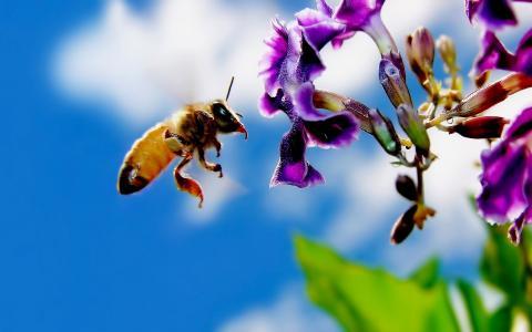 蜜蜂,玛雅人