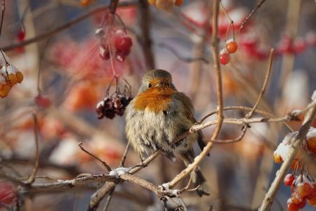 世界鸟类,鸟,罗宾,冬天,树枝,浆果