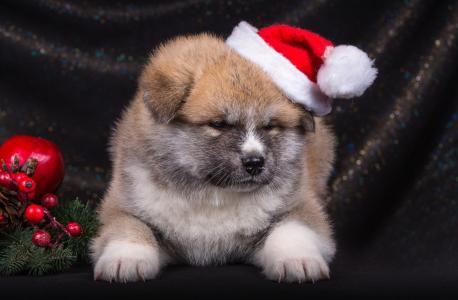 新年,小狗,帽子,秋田,动物