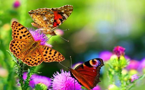 蝴蝶,蝴蝶,鲜花,夏天,性质,背景,心情