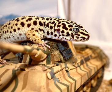 紫檀,眼,壁虎,坦克,蜥蜴
