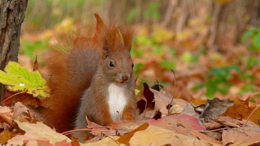 松鼠,秋天