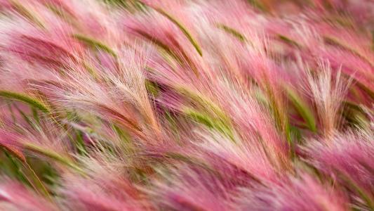 大麦,性质