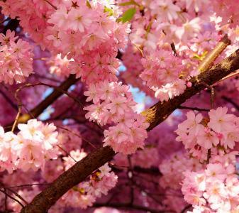 樱花,树,花,开花,植物,植物,树木,花瓣