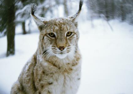 捕食者,冬天,木材,l,,l,,猫,冬天,猫,捕食者,森林