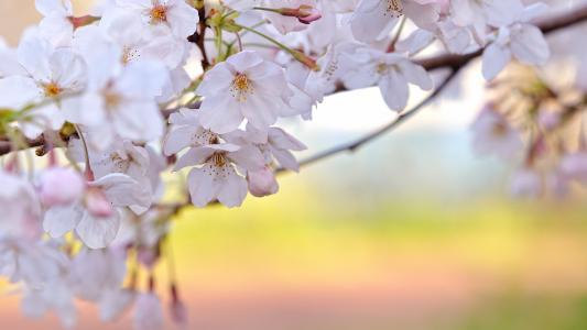 开花,樱桃,白色的花瓣,分支机构,春天,新鲜